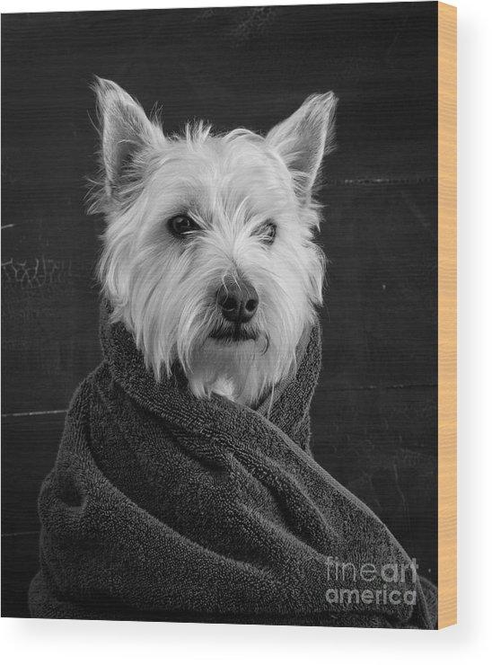 Portrait Of A Westie Dog Wood Print featuring the photograph Portrait of a Westie Dog by Edward Fielding