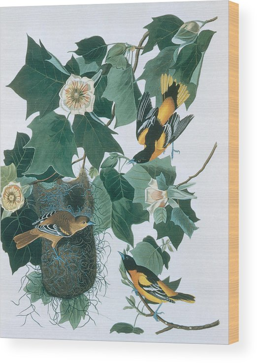 Engraving Wood Print featuring the digital art Baltimore Orioles Icterus Galbula by N A S.