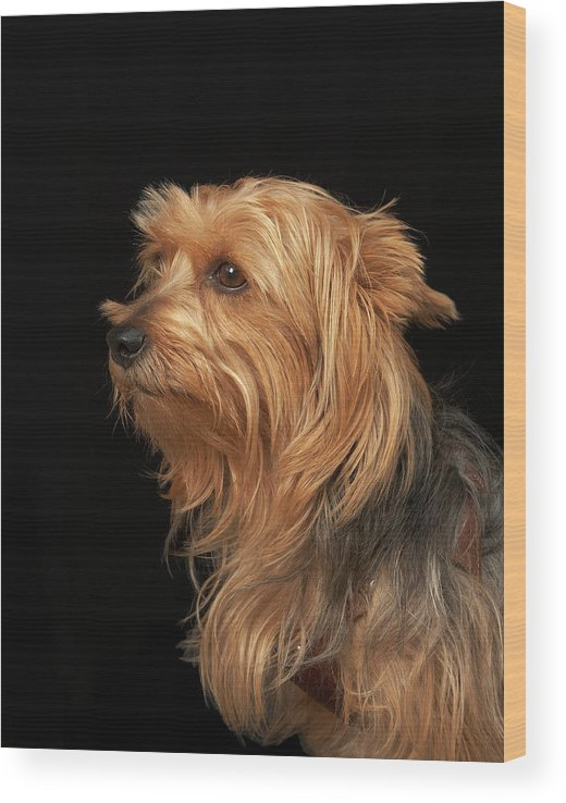 Pets Wood Print featuring the photograph Black And Brown Yorkie Left Profile On by M Photo