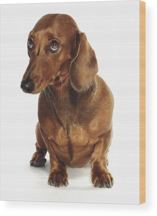 Pets Wood Print featuring the photograph Dachshund Looking Up by Gandee Vasan