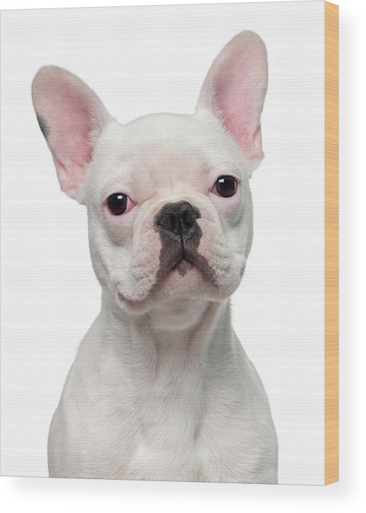 Pets Wood Print featuring the photograph French Bulldog Puppy 5 Months Old by Life On White