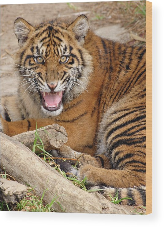 Snarling Wood Print featuring the photograph Growling Tiger by S. Greg Panosian
