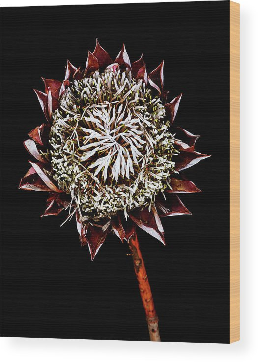 Black Background Wood Print featuring the photograph King Protea Top by Chris Stein