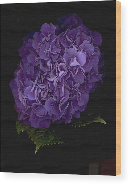 Hydrangea Wood Print featuring the photograph Out of the Shadows by Suzanne Gaff