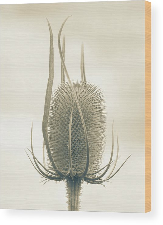 Teasel Wood Print featuring the photograph Unexpected Direction by Bear R Humphreys