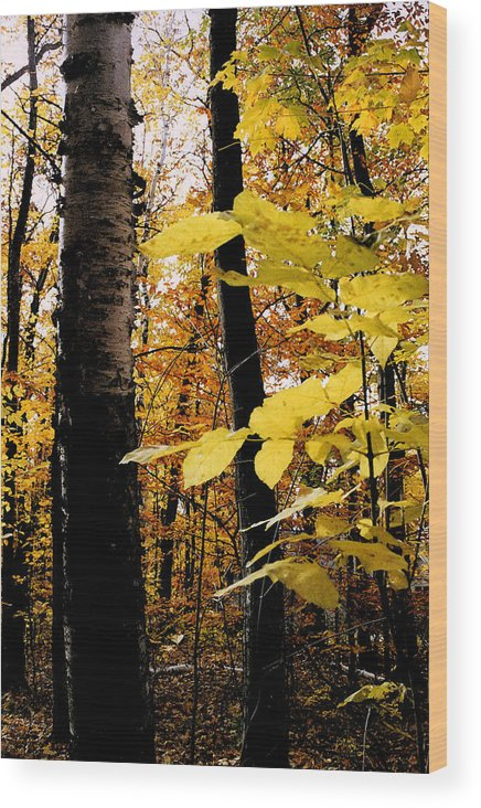 Green Wood Print featuring the photograph Autumn Birch Trees by Michelle Calkins