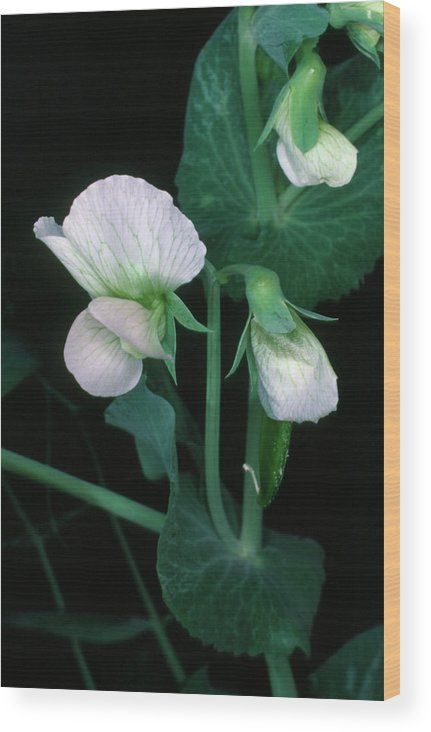 Plant Wood Print featuring the photograph Flowers Of The Garden Pea by Dr Jeremy Burgess/science Photo Library.