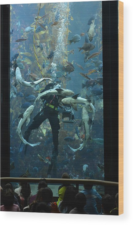 Diver Wood Print featuring the photograph Monterey Bay Aquarium Diver by Keith Gondron