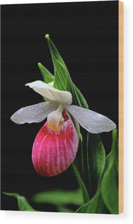 Orchid Wood Print featuring the photograph Showy Lady's Slipper by Bill Morgenstern