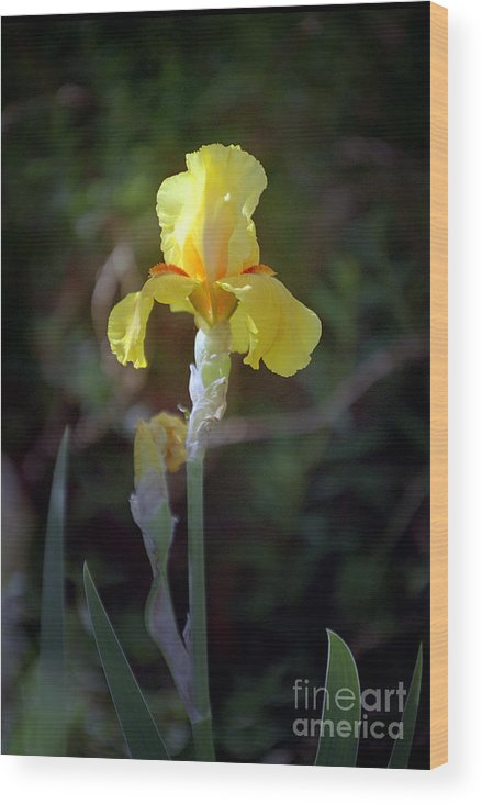 Iris Wood Print featuring the photograph Yellow Iris by Kathy McClure