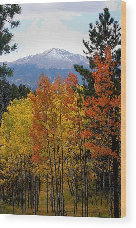 Colorado Mountains Wood Print featuring the photograph Aspen Grove And Pikes Peak by Kimberlee Fiedler
