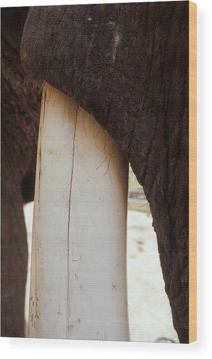 Amber Fort Wood Print featuring the photograph Clos-up Of An Asian Elephants Massive by Jason Edwards
