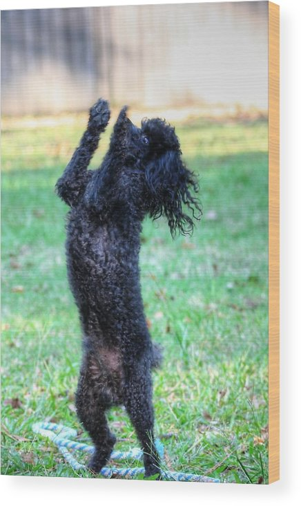 Poodle Photograph Wood Print featuring the photograph Dancing Poodle by Ester Rogers
