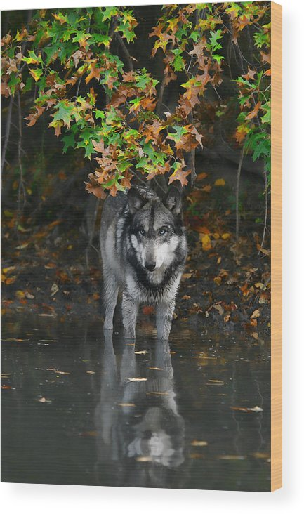 Wolf Wolves Lupine Canis Lupus Wildlife Animal Photography Photograph Wood Print featuring the photograph Autumn Wolf by Shari Jardina