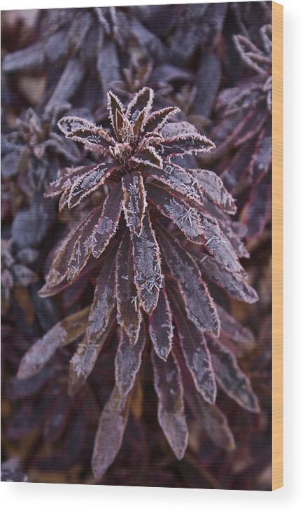Christmas Wood Print featuring the photograph Frozen Christmas by Douglas Barnett