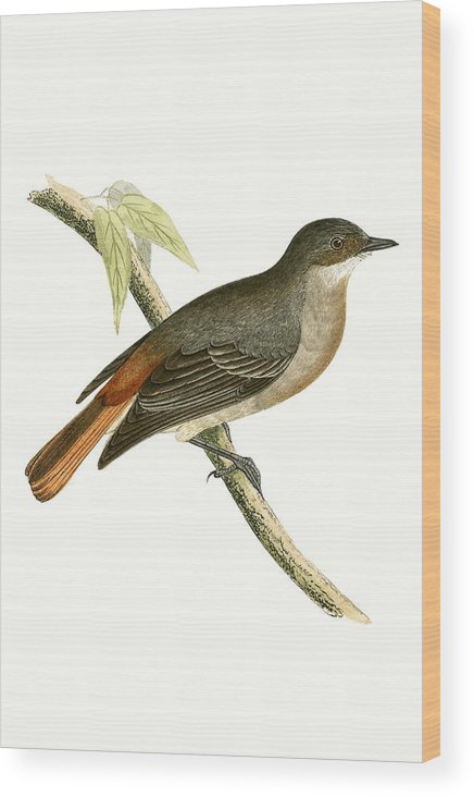 Bird Wood Print featuring the painting Grey Redstart by English School