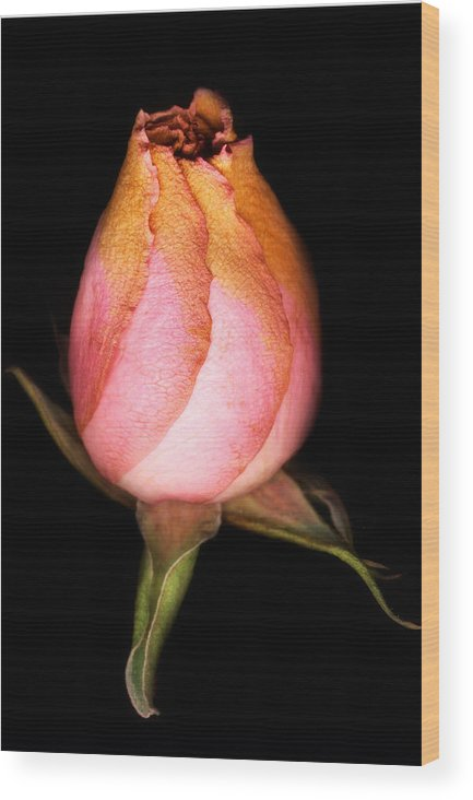 Rose Wood Print featuring the photograph single Rose by Marilyn Hunt