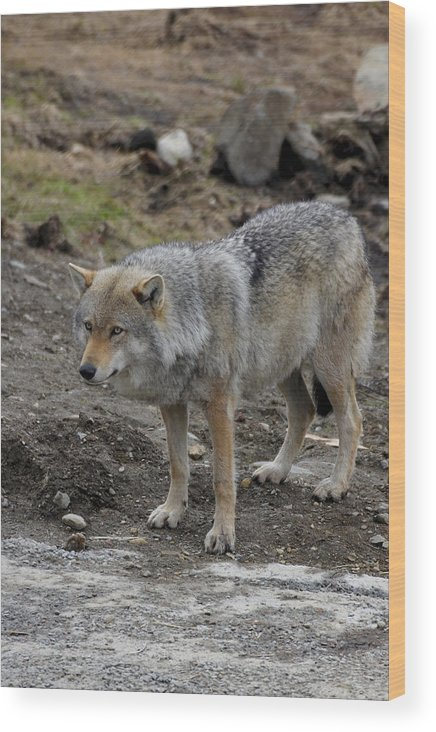 Wildlife Wood Print featuring the painting Wolf 1 Norway by Robert SORENSEN