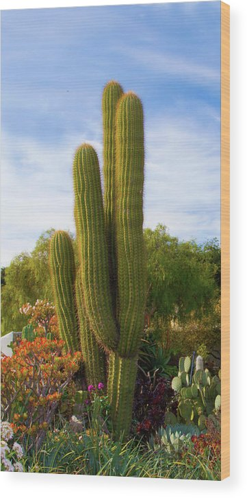 Cactus Monterey California Wood Print featuring the photograph Cactus Monterey California by Barbara Snyder