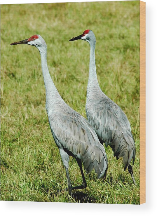 Sand Hill Crane Wood Print featuring the photograph Just The Two Of Us by Norman Johnson