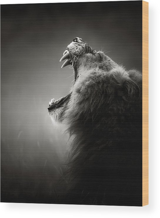 Lion Wood Print featuring the photograph Lion Displaying Dangerous Teeth by Johan Swanepoel