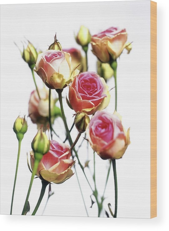 Rosa Wood Print featuring the photograph Roses (rosa 'mini Eden') by Derek Lomas / Science Photo Library