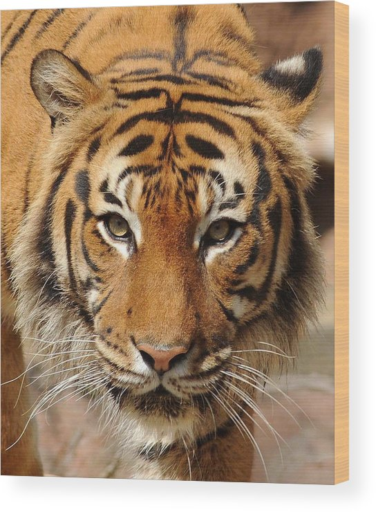 Tiger Wood Print featuring the photograph Eye Of The Tiger by Renee Hardison