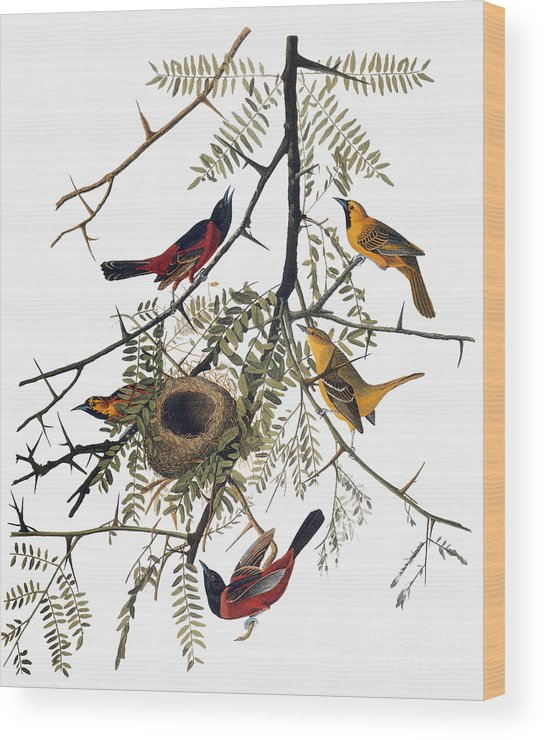 1838 Wood Print featuring the photograph Audubon: Oriole by Granger