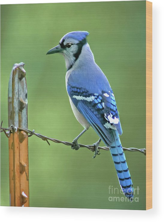 Animal Wood Print featuring the photograph Blue Jay On The Fence by Robert Frederick