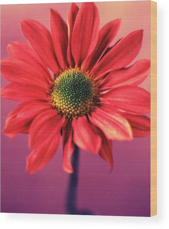 Flora Wood Print featuring the photograph Daisy 1 by Joseph Gerges
