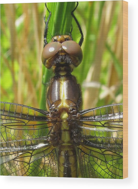 Dragonfly Wood Print featuring the photograph Fun In The Sun by Ginger Adams
