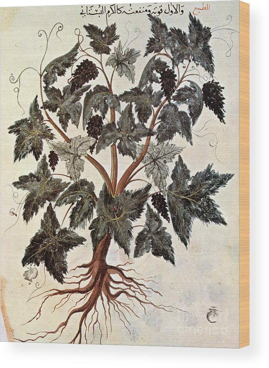 1229 Wood Print featuring the photograph Grapevine, 1229 by Granger