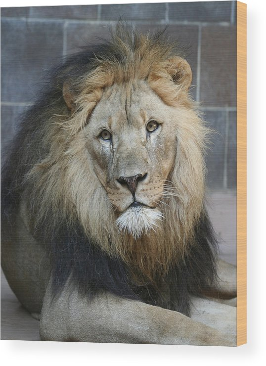 Lion Wood Print featuring the photograph King In Exile by Deborah Molitoris