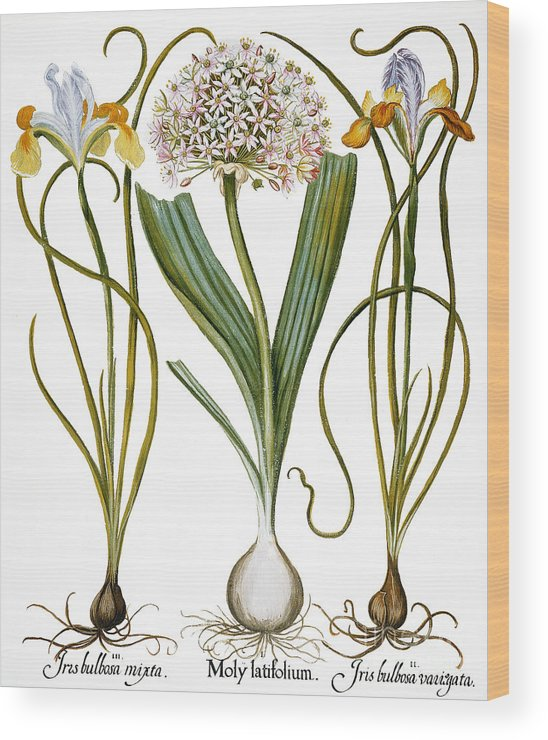 1613 Wood Print featuring the photograph Leek And Irises, 1613 by Granger