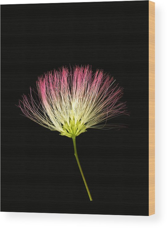 Scanography Wood Print featuring the photograph Pink Silk by Deborah J Humphries