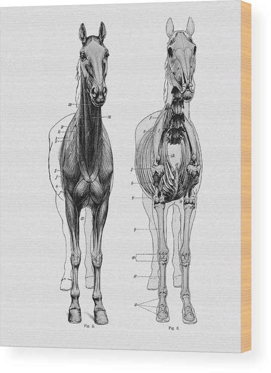 Vintage Horse Anatomy Scientific Illustration Wood Print by Sandra ...