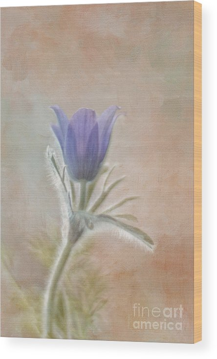 Pulsatilla Wood Print featuring the photograph Announcing Spring by Maria Ismanah Schulze-Vorberg