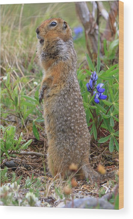 Alaska Wood Print featuring the photograph Arctic Ground Squirrel by Tom Norring
