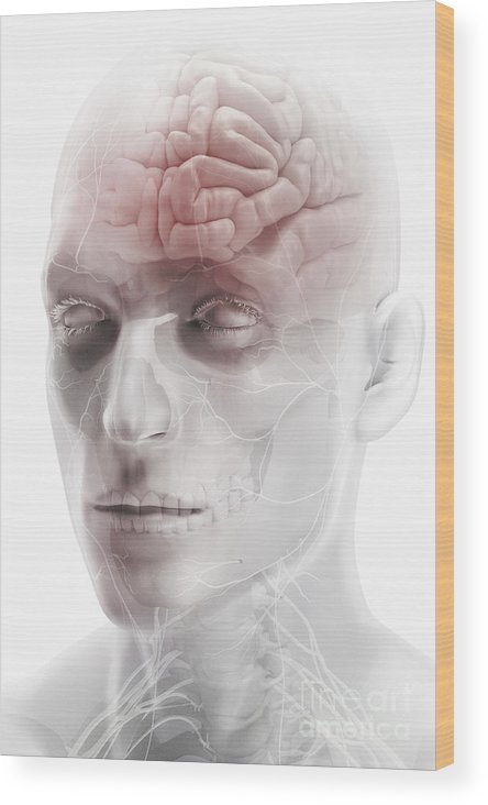 Cranium Wood Print featuring the photograph Brain And Nerves Of The Head by Science Picture Co