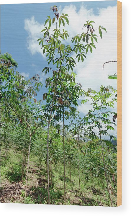 Agriculture Wood Print featuring the photograph Cassava Plantation In Ecuador by Dr Morley Read