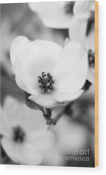 Cherokee Princess Flowering Dogwood Wood Print featuring the photograph Dogwood Blossom by Iris Richardson