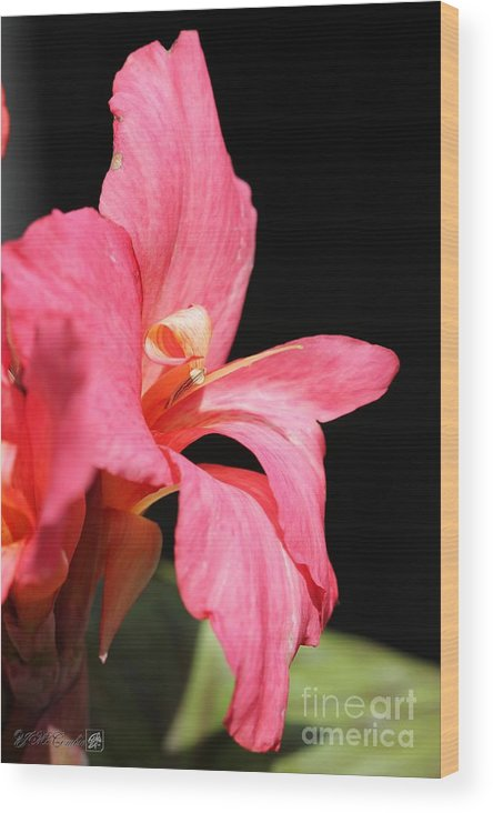 Canna Wood Print featuring the photograph Dwarf Canna Lily Named Shining Pink by J McCombie