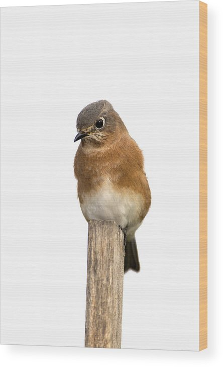 Bird Wood Print featuring the photograph Eastern Bluebird 1 by Gerald Marella