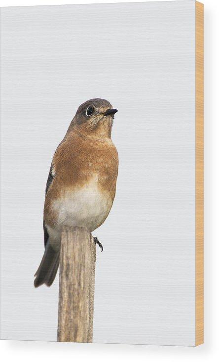 Bird Wood Print featuring the photograph Eastern Bluebird 2 by Gerald Marella