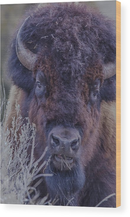 Bison Wood Print featuring the photograph Forest Bull by Kevin Spriggs