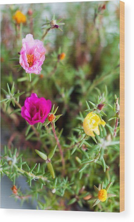 Portulaca Wood Print featuring the photograph Mixed Portulaca by Frank Gaertner