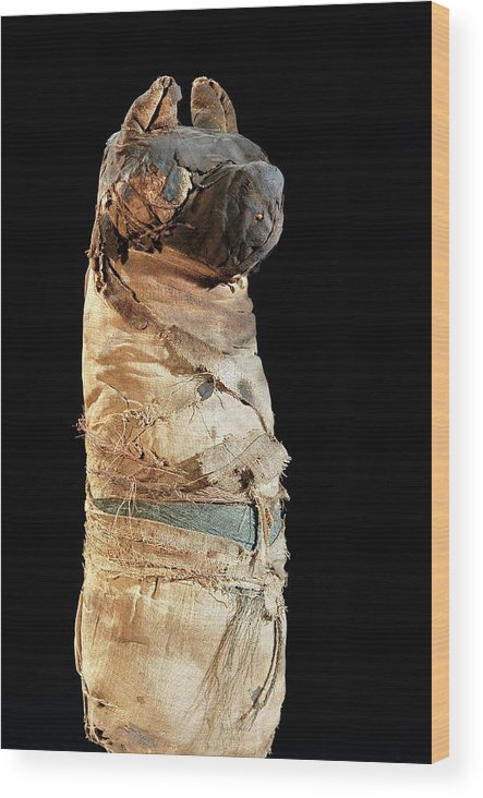 Animal Wood Print featuring the photograph Mummified Dog From Ancient Egypt by Thierry Berrod, Mona Lisa Production/ Science Photo Library