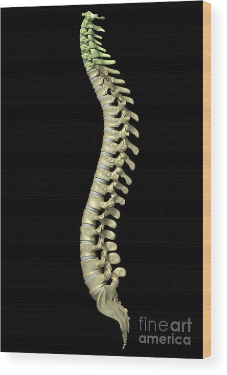 Digitally Generated Image Wood Print featuring the photograph The Cervical Vertebrae by Science Picture Co
