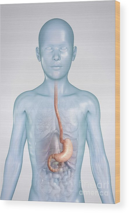 3d Visualisation Wood Print featuring the photograph The Stomach Child by Science Picture Co
