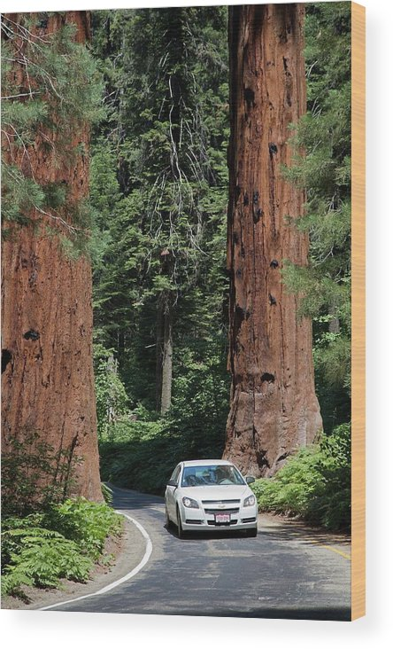 Giant Sequoia Wood Print featuring the photograph Tourism In Sequoia National Park by Jim West